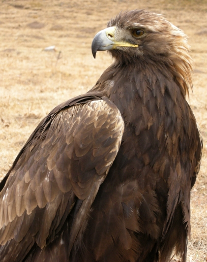 Tuman - golden eagle, 2008