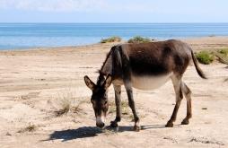 Pregnant donkey, Issyk Kul, 2013