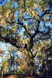 Live Oak at Suwannee Springs