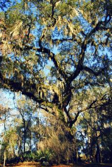 Live Oak at Suwannee Springs